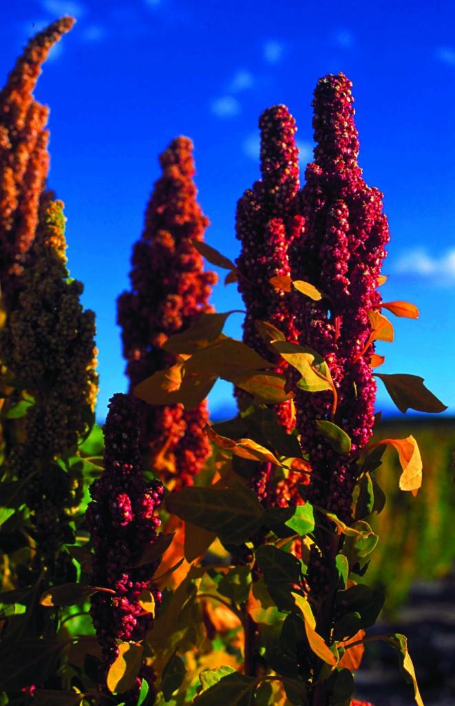 plant de quinoa (épis)