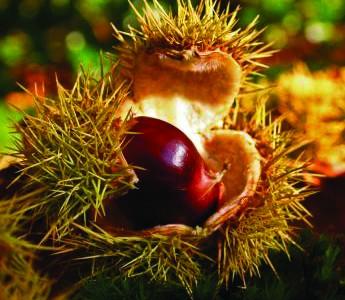 Priméal vous invite à la découverte de son trésor d'automne ardéchois : la filière châtaigne d'Ardèche