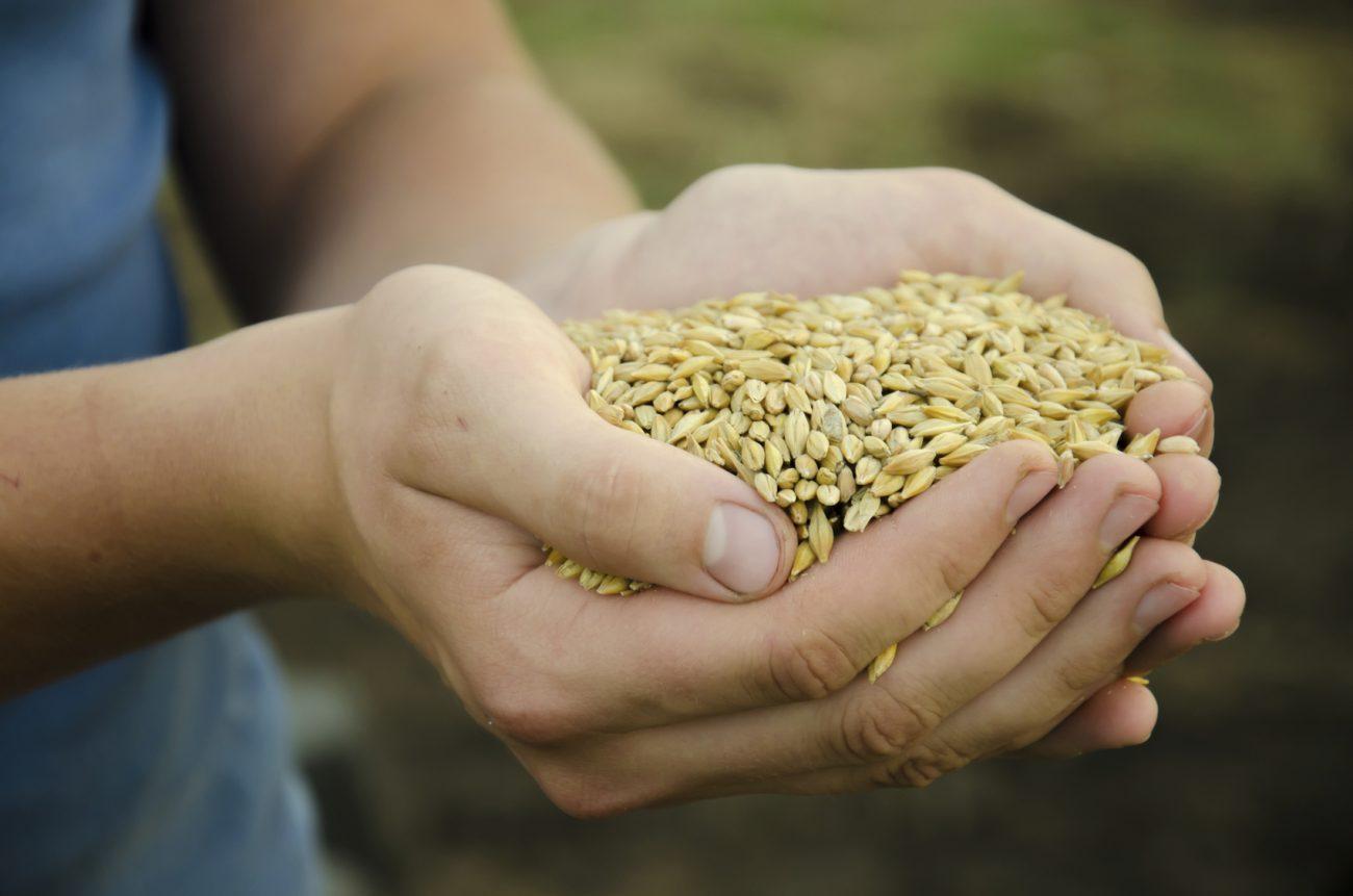 Cereales-mais-d-ou-vient-l'orge.jpg
